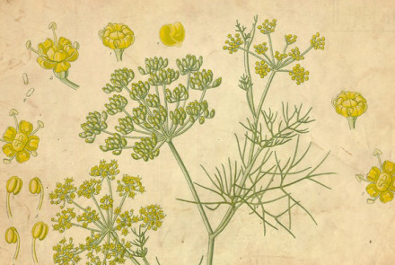 The history of fennel